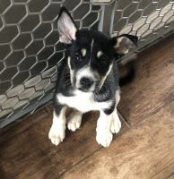Mixed Puppies for sale in Gilbert, AZ, USA. price: NA