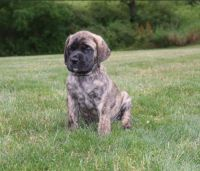 Mixed Puppies for sale in Midland Park, NJ 07432, USA. price: NA