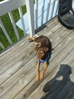 Mixed Puppies for sale in Wilkes-Barre, PA, USA. price: NA