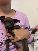 Mixed Puppies for sale in 53229 Bear Run, Fort Hood, TX 76544, USA. price: NA