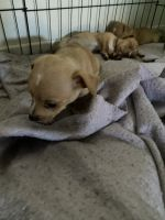 Mixed Puppies for sale in Alhambra, CA, USA. price: NA