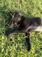 Mixed Puppies for sale in New Braunfels, TX, USA. price: NA