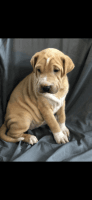 Mixed Puppies for sale in Nottingham, MD, USA. price: NA