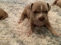 Mixed Puppies for sale in Syracuse, NY, USA. price: NA