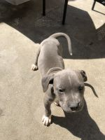 Mixed Puppies for sale in Santa Maria, CA 93458, USA. price: NA