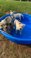 Mixed Puppies for sale in Fort Collins, CO, USA. price: NA