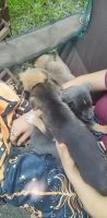 Mixed Puppies for sale in Rockwall, TX 75087, USA. price: NA