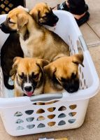 Mixed Puppies for sale in Chula Vista, CA, USA. price: NA