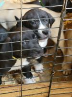 Mixed Puppies for sale in Rockwell, NC 28138, USA. price: NA