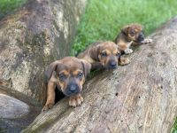 Mixed Puppies for sale in Jacksonville, FL, USA. price: NA