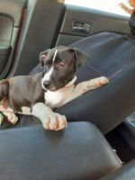 Mixed Puppies for sale in Clarion, PA 16214, USA. price: NA