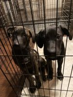 Mixed Puppies for sale in Edom, TX, USA. price: NA