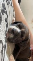 Mixed Puppies for sale in Omaha, NE, USA. price: NA