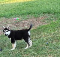 Mixed Puppies for sale in Oklahoma City, OK, USA. price: NA