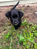 Mixed Puppies for sale in Ludington, MI 49431, USA. price: NA