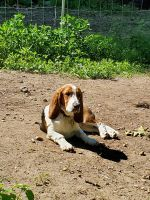 Mixed Puppies for sale in New Boston, NH 03070, USA. price: NA