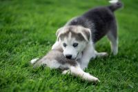 Mixed Puppies for sale in Oxford, NY 13830, USA. price: NA