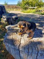 Mixed Puppies for sale in Montrose, CO, USA. price: NA