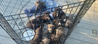 Mixed Puppies for sale in North Kingstown, RI, USA. price: NA