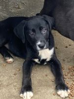 Mixed Puppies for sale in Cameron, LA 70631, USA. price: NA