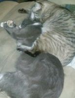 Mixed Cats for sale in San Antonio, TX, USA. price: NA