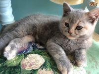 Mixed Cats for sale in Carlsbad, CA, USA. price: NA