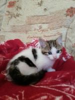Mixed Cats for sale in West Chester, PA, USA. price: NA