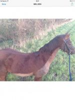 Mixed Horses for sale in West Chester, PA, USA. price: NA