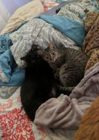 Mixed Cats for sale in Mechanicsburg, OH 43044, USA. price: NA
