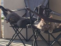 Mixed Cats for sale in Emeryville, CA, USA. price: NA