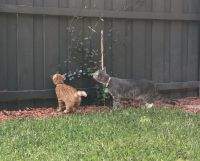 Mixed Cats for sale in Altamonte Springs, FL, USA. price: NA