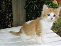 Mixed Cats for sale in Jacksonville, TX 75766, USA. price: NA