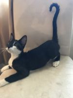 Mixed Cats for sale in Colorado Springs, CO, USA. price: NA