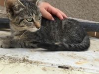 Mixed Cats for sale in Rosamond, CA, USA. price: NA