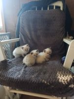 Mixed Cats for sale in Willow River, MN 55795, USA. price: NA