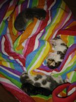 Mixed Cats for sale in Phoenix, AZ, USA. price: NA
