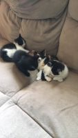 Mixed Cats for sale in Gulf Breeze, FL, USA. price: NA
