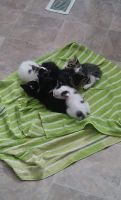 Mixed Cats for sale in 1915 W MacArthur Rd, Wichita, KS 67217, USA. price: NA