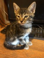 Mixed Cats for sale in 6975 Bluehill Ave, Las Vegas, NV 89156, USA. price: NA