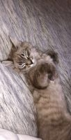 Mixed Cats for sale in Clackamas, OR, USA. price: NA