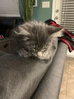 Mixed Cats for sale in Las Vegas, NV, USA. price: NA