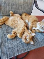 Mixed Cats for sale in Jacksonville, FL, USA. price: NA