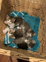Mixed Cats for sale in McHenry, IL, USA. price: NA