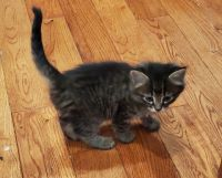 Mixed Cats for sale in Southampton, PA, USA. price: NA