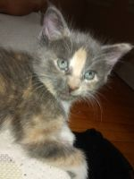 Mixed Cats for sale in Detroit, MI, USA. price: NA