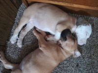 Mixed Puppies for sale in Jonesville, NC 28642, USA. price: NA