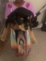 Mixed Puppies for sale in Peachtree City, GA, USA. price: NA