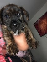 Mixed Puppies for sale in Telford, PA 18969, USA. price: NA