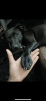 Mixed Puppies for sale in St. Louis, MO, USA. price: NA