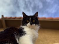 Mixed Cats for sale in Chandler, AZ, USA. price: NA